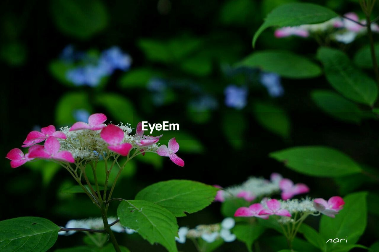 flower, growth, leaf, fragility, plant, petal, beauty in nature, freshness, nature, pink color, flower head, blooming, green color, no people, day, outdoors, close-up, springtime, periwinkle