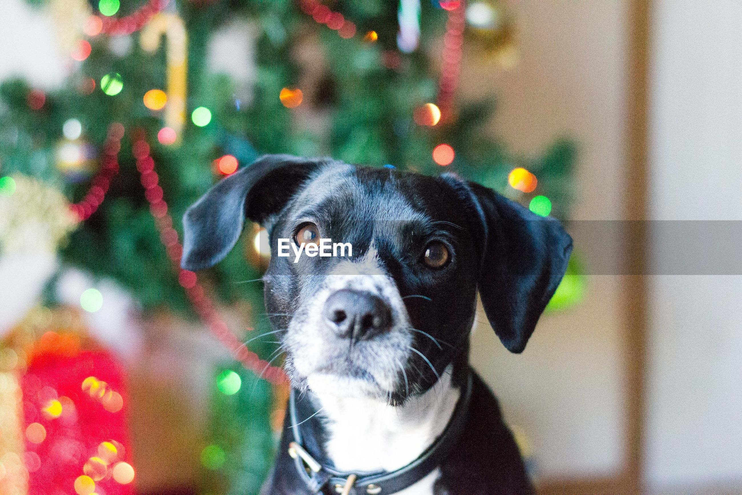 Close-up portrait of dog against christmas tree at home