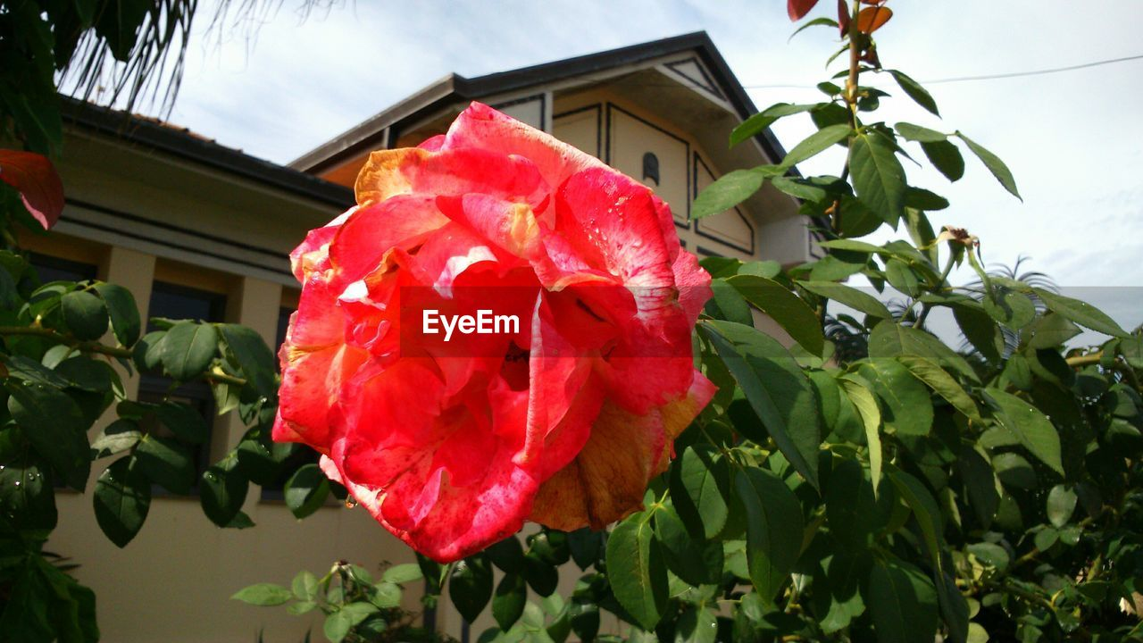 Close-up of pink flower against house