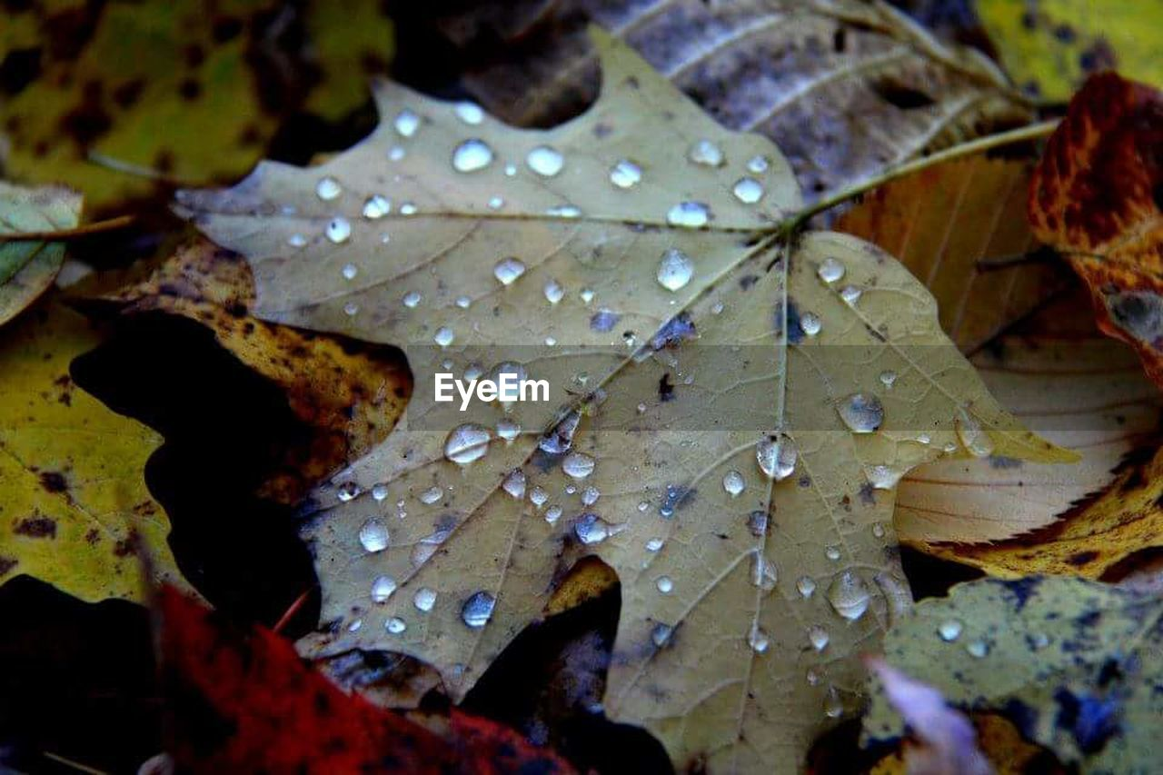leaf, drop, water, autumn, wet, nature, weather, beauty in nature, day, maple leaf, close-up, raindrop, fragility, outdoors, change, no people, maple, freshness