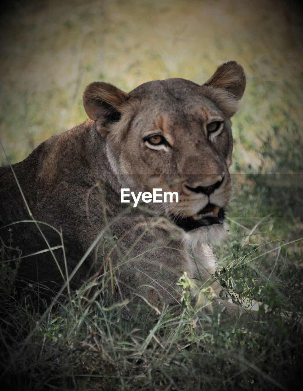 animals in the wild, animal themes, one animal, day, no people, animal wildlife, lioness, outdoors, lion - feline, grass, mammal, safari animals, nature, close-up