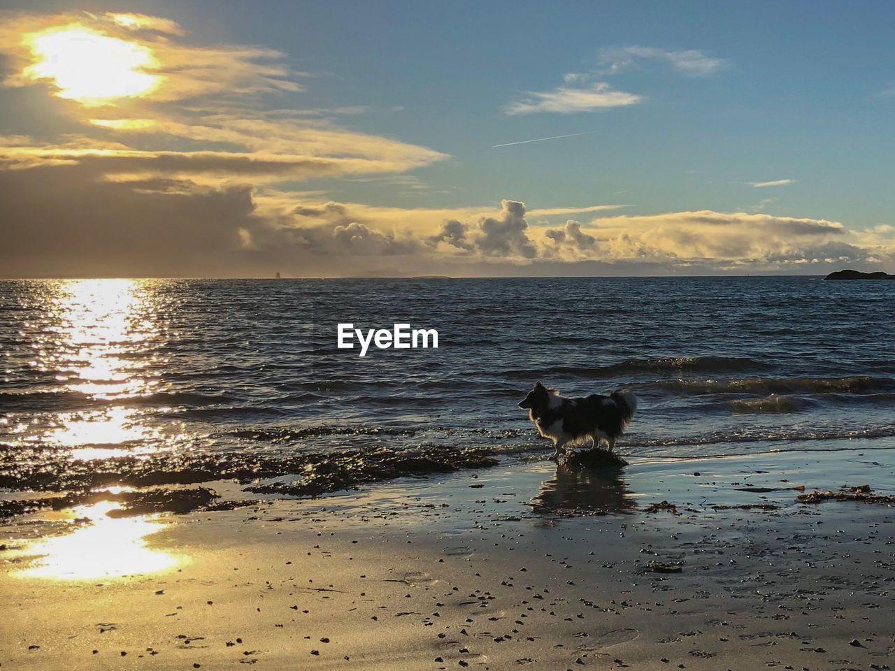 one animal, domestic, domestic animals, canine, mammal, water, dog, pets, sky, animal, animal themes, beach, sea, land, vertebrate, horizon over water, horizon, sunset, cloud - sky, no people