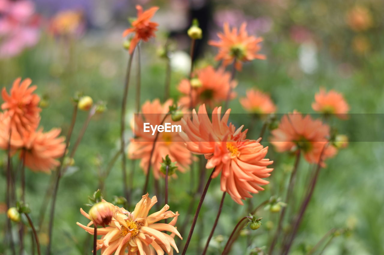 flower, growth, nature, plant, beauty in nature, orange color, petal, flower head, fragility, focus on foreground, outdoors, no people, freshness, day, blooming, close-up