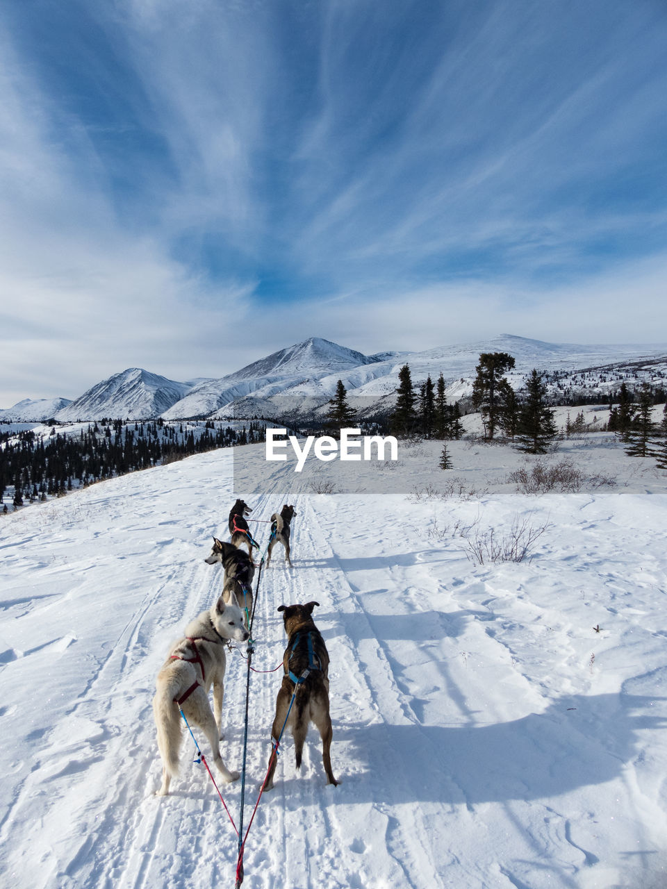 Rear view of dogs pulling sled on snow covered landscape