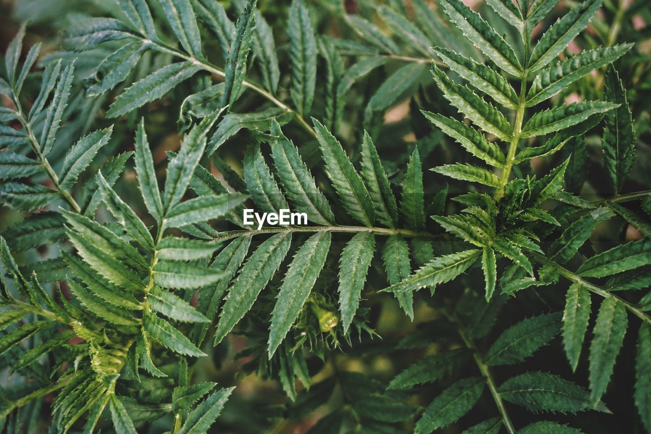 growth, green color, plant, leaf, plant part, close-up, nature, herb, no people, marijuana - herbal cannabis, beauty in nature, cannabis plant, day, food and drink, healthcare and medicine, selective focus, backgrounds, focus on foreground, narcotic, full frame, outdoors, coniferous tree