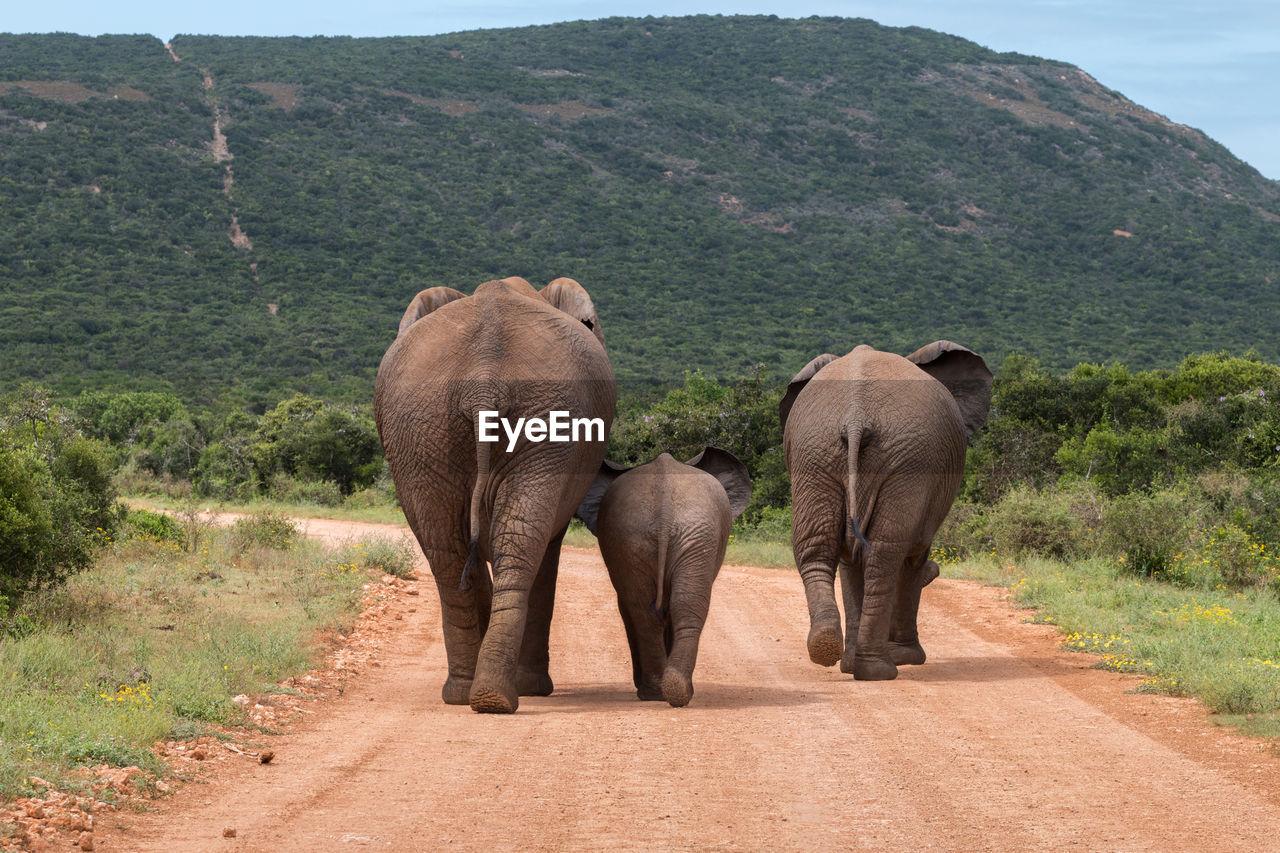 Rear view of elephants walking on dirt road