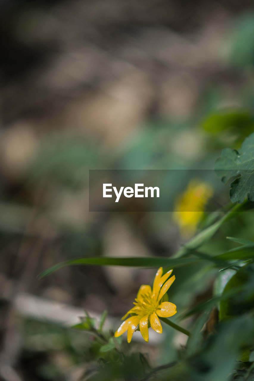 flower, plant, flowering plant, vulnerability, beauty in nature, growth, fragility, freshness, close-up, yellow, selective focus, inflorescence, flower head, nature, petal, no people, day, focus on foreground, outdoors, plant part