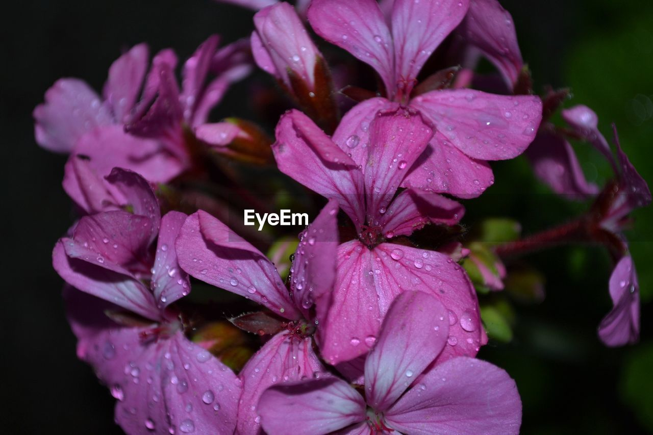 Close-Up Of Wet Pink Flowering Plant During Rainy Season