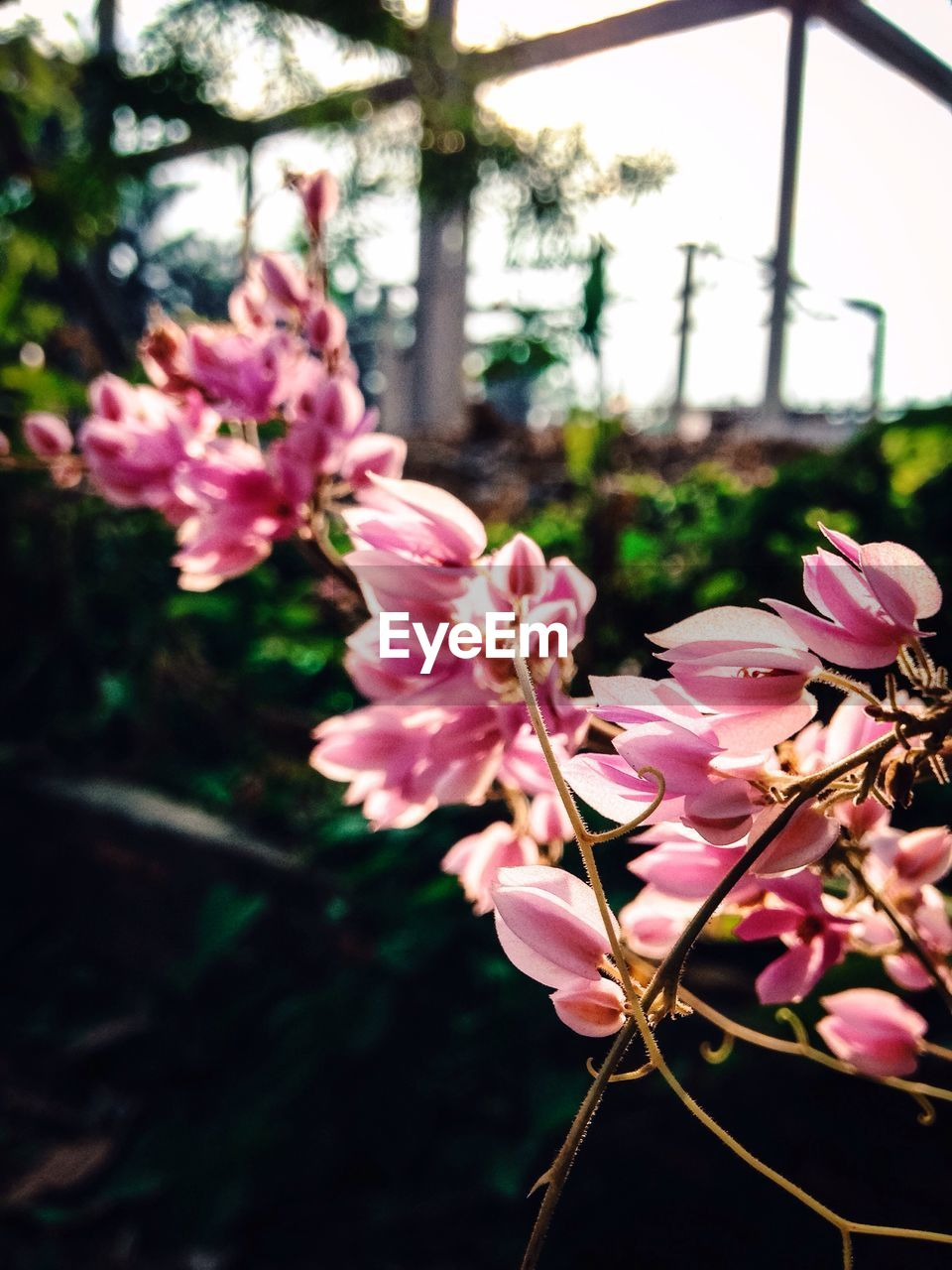 pink color, flower, growth, nature, beauty in nature, tree, fragility, petal, no people, close-up, freshness, day, outdoors, focus on foreground, plant, flower head, blooming, branch