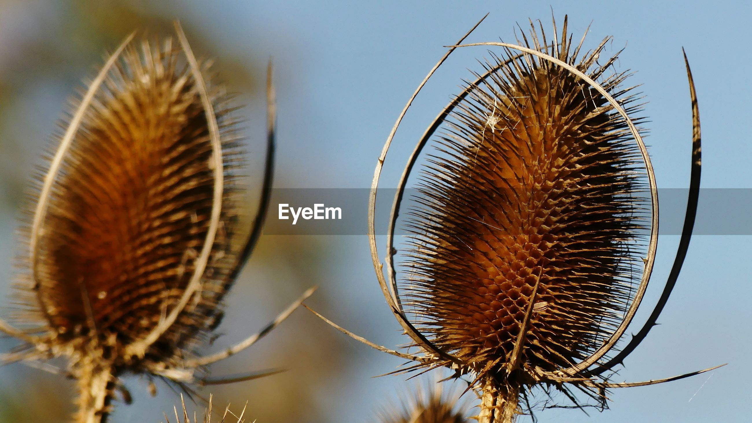 CLOSE-UP OF DRY THISTLE PLANT