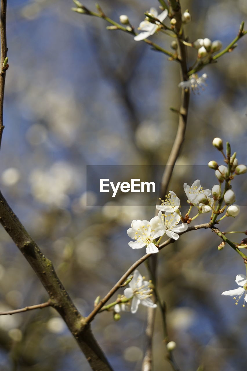 flower, fragility, branch, apple blossom, white color, tree, growth, apple tree, blossom, nature, springtime, beauty in nature, orchard, twig, botany, freshness, day, no people, close-up, outdoors, focus on foreground, petal, flower head, blooming