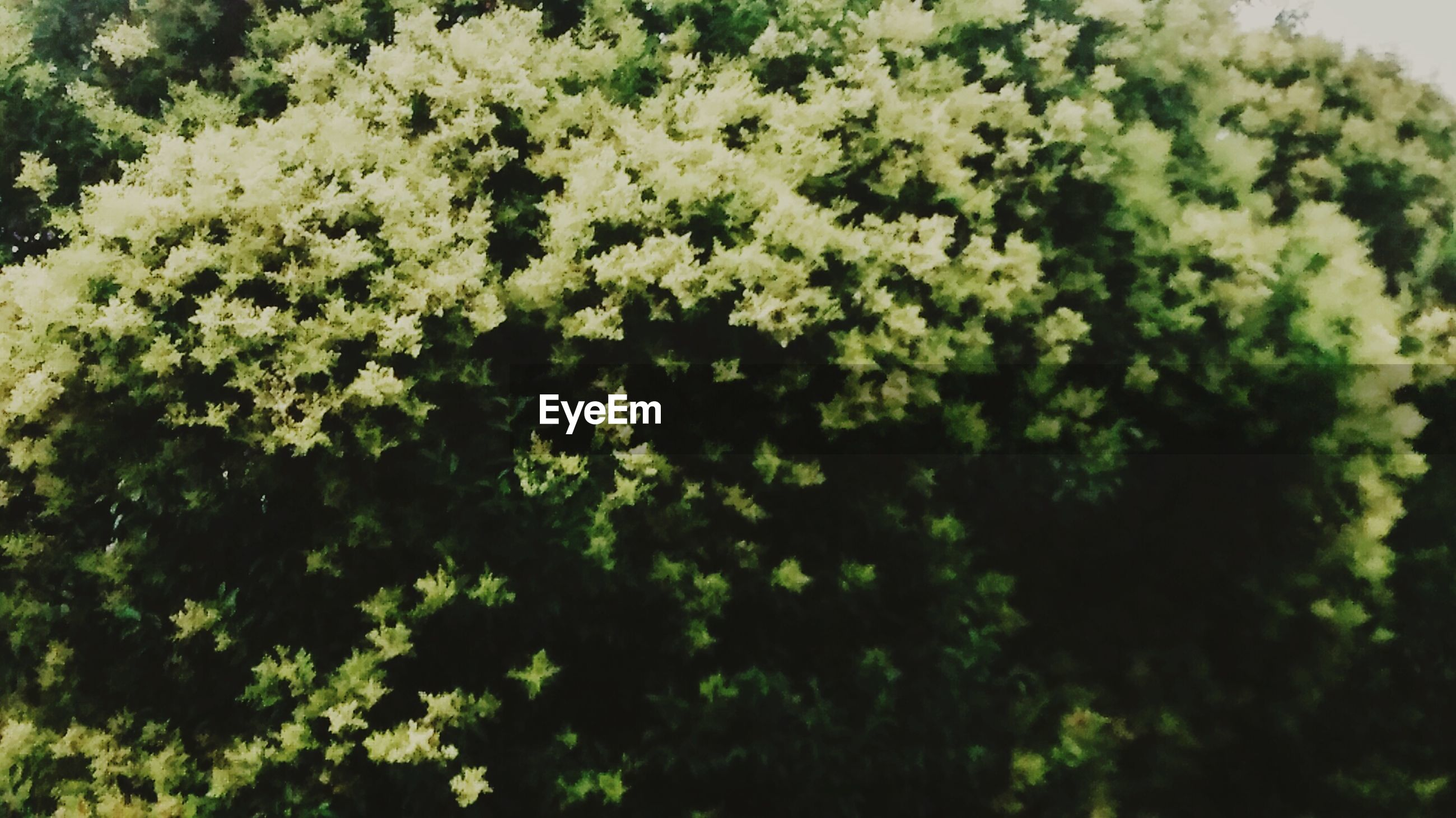 growth, flower, freshness, beauty in nature, tree, nature, green color, fragility, plant, white color, blooming, low angle view, leaf, outdoors, backgrounds, lush foliage, in bloom, petal, day, full frame
