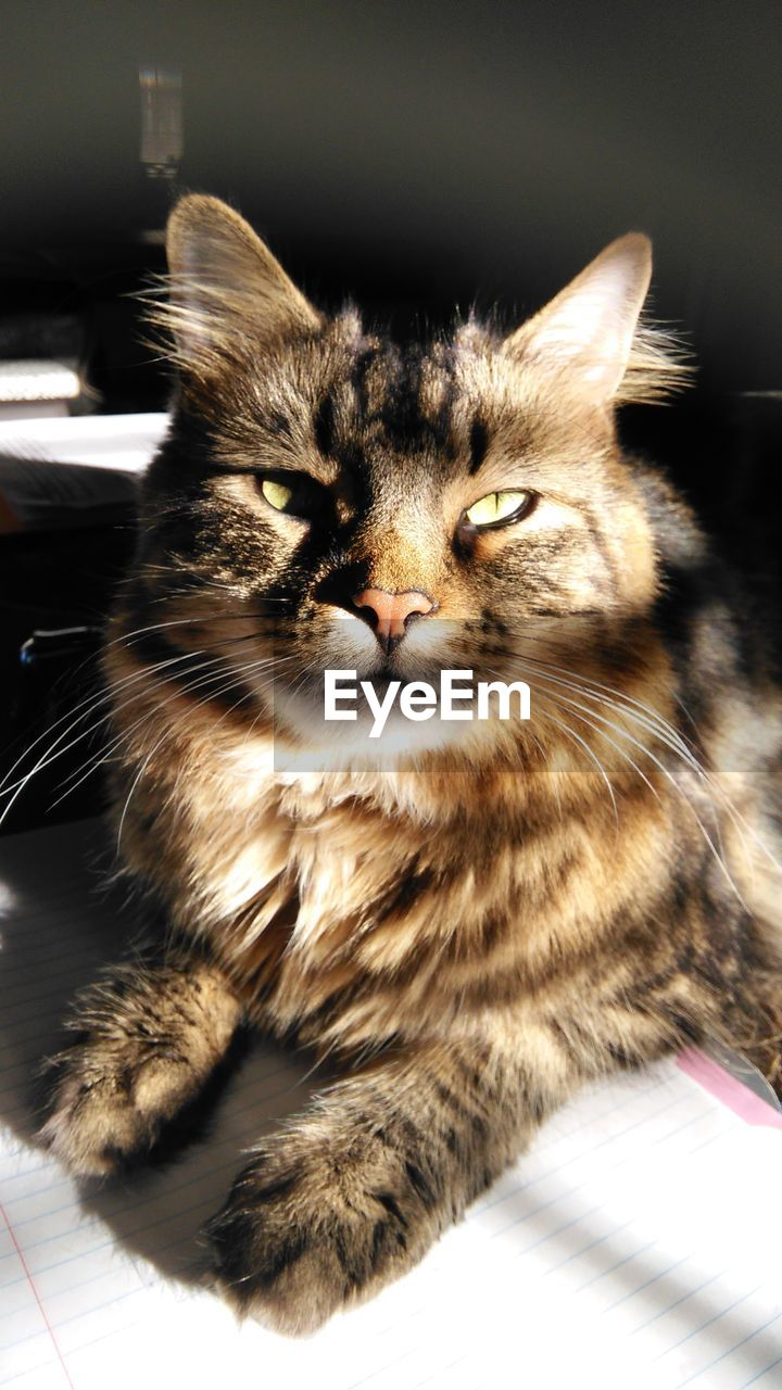 cat, pets, domestic, domestic cat, domestic animals, feline, mammal, animal themes, animal, one animal, vertebrate, looking at camera, indoors, portrait, no people, whisker, home interior, close-up, relaxation, focus on foreground, maine coon cat, animal eye