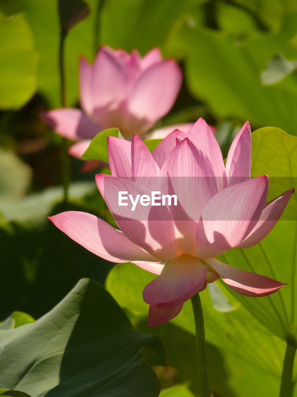 flowering plant, flower, petal, plant, vulnerability, beauty in nature, freshness, fragility, close-up, flower head, inflorescence, growth, leaf, plant part, water lily, pink color, nature, no people, lotus water lily, day