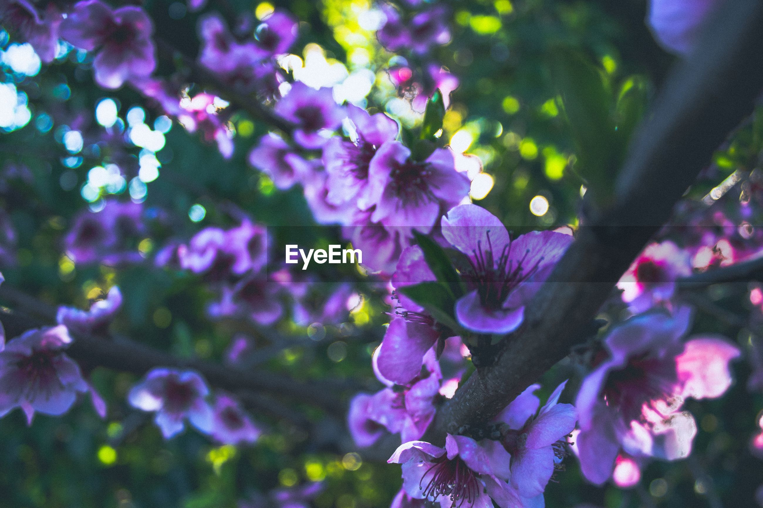 CLOSE-UP OF PURPLE FLOWERS ON BRANCH