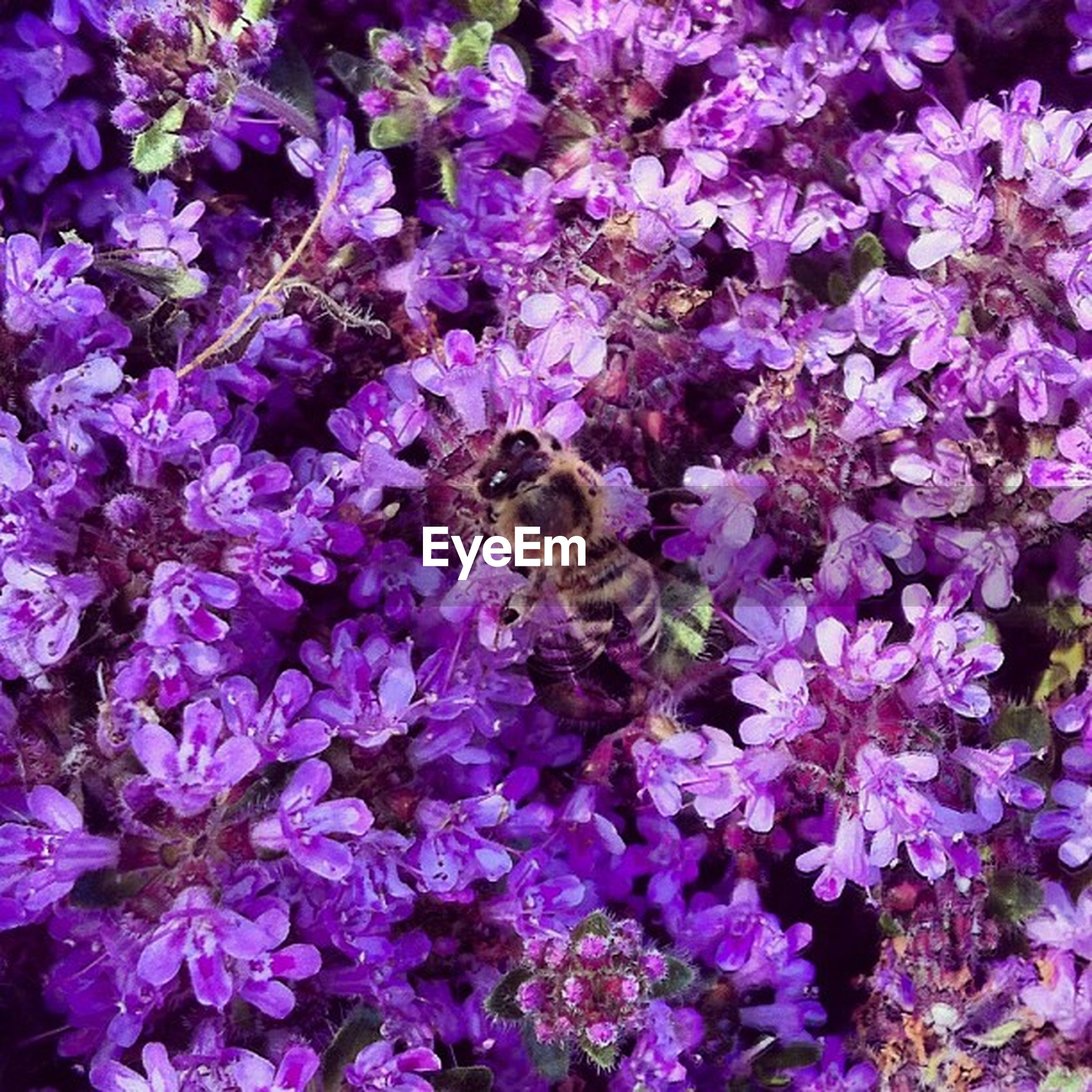 flower, insect, animal themes, one animal, animals in the wild, wildlife, petal, freshness, fragility, bee, pollination, beauty in nature, growth, purple, nature, flower head, high angle view, plant, blooming, symbiotic relationship