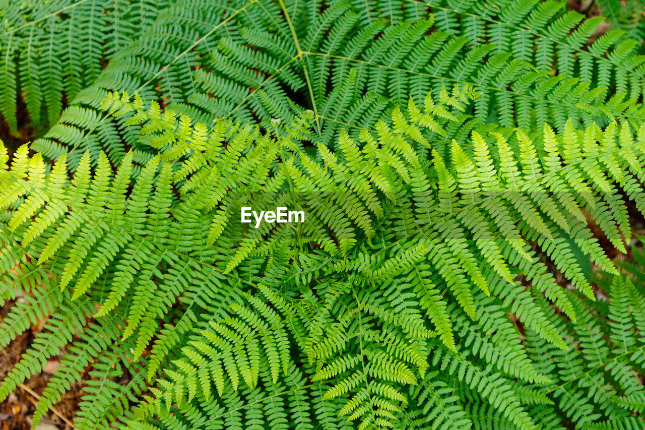 green color, backgrounds, full frame, no people, pattern, fern, close-up, day, textured, nature, natural pattern, leaf, plant, outdoors, beauty in nature, plant part, growth, low angle view, abstract, brightly lit, animal scale