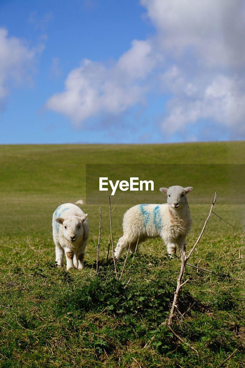 Lambs standing on grassy field