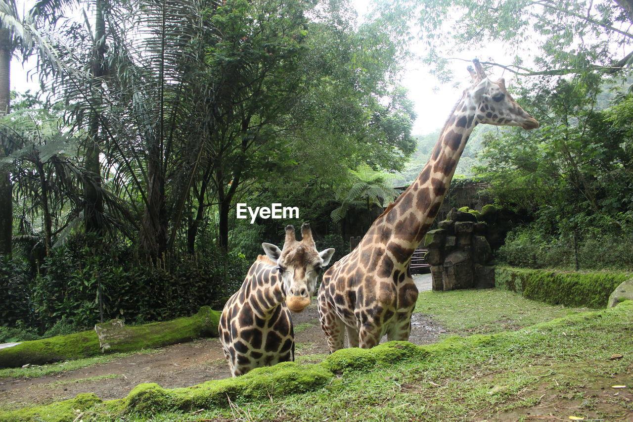 tree, plant, animal wildlife, animal, animals in the wild, animal themes, mammal, group of animals, forest, nature, land, vertebrate, day, giraffe, two animals, safari, no people, growth, grass, outdoors, zoo, herbivorous, animal family