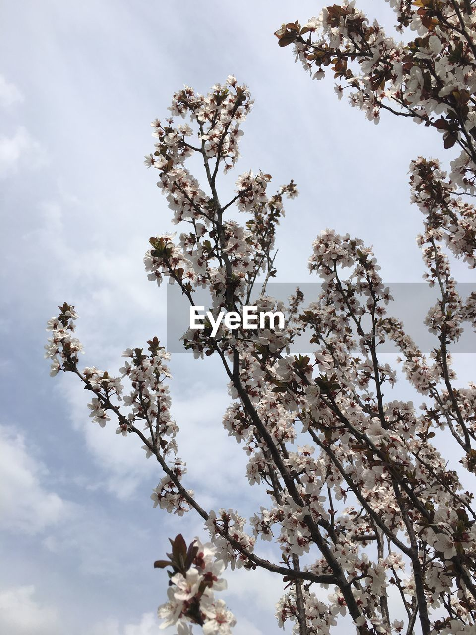 tree, blossom, flower, low angle view, growth, fragility, nature, beauty in nature, branch, springtime, apple blossom, day, apple tree, no people, botany, white color, sky, freshness, cloud - sky, outdoors, tranquility, close-up, flower head