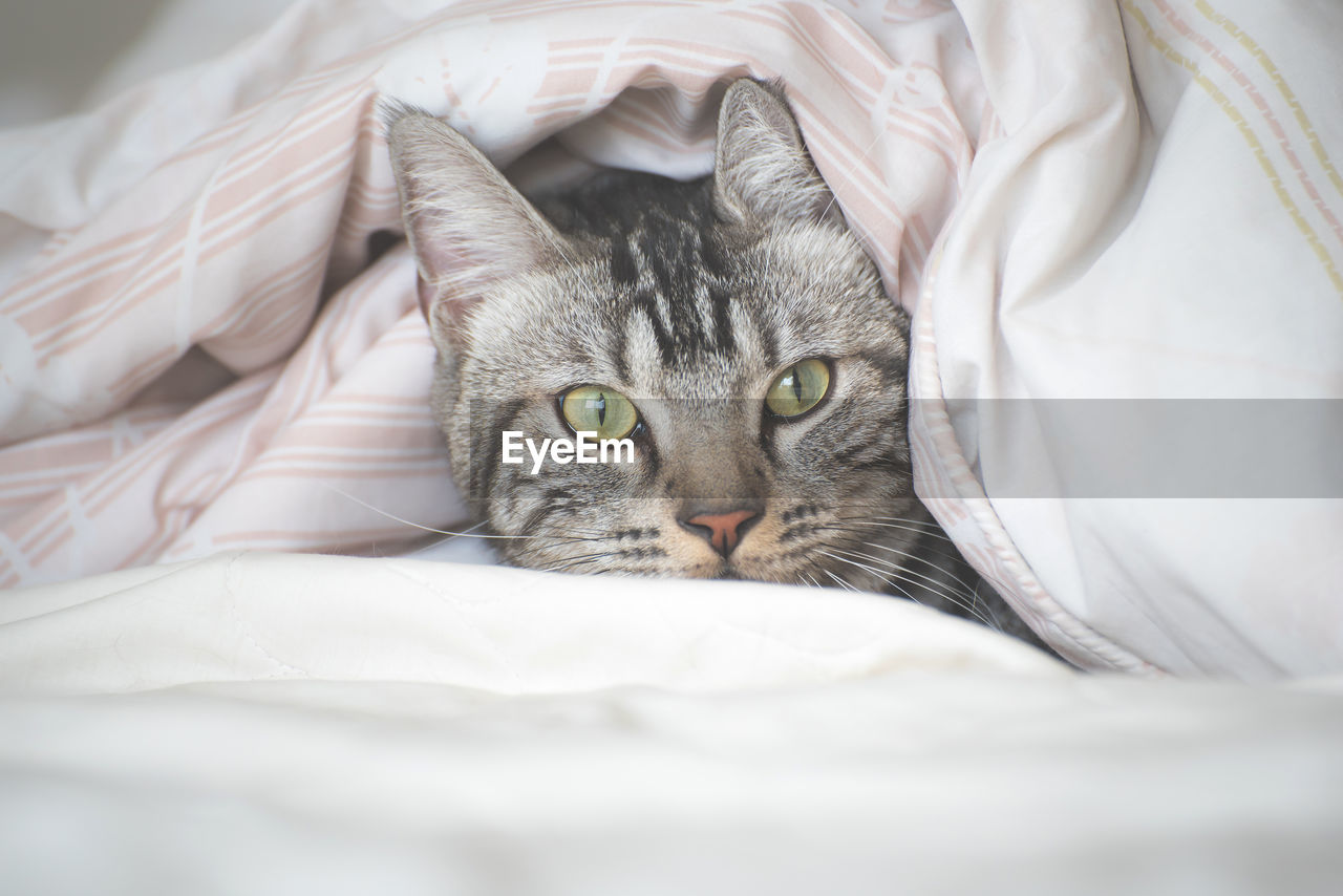 domestic cat, domestic animals, domestic, pets, cat, mammal, feline, one animal, bed, animal themes, furniture, animal, vertebrate, looking at camera, indoors, portrait, no people, relaxation, sheet, linen, whisker, animal head, animal eye
