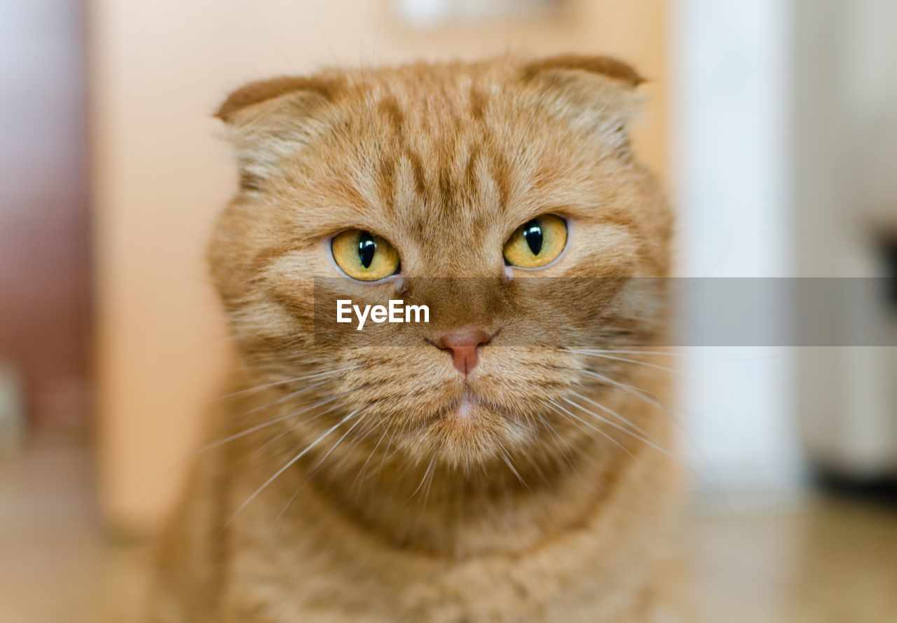 domestic, pets, cat, domestic animals, domestic cat, animal themes, mammal, feline, animal, one animal, portrait, looking at camera, vertebrate, whisker, close-up, no people, indoors, selective focus, animal body part, focus on foreground, animal head, animal eye, ginger cat, tabby, snout