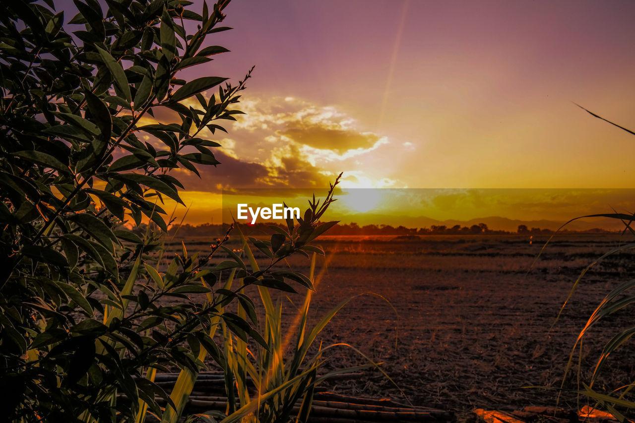 sunset, nature, growth, plant, no people, sky, agriculture, tranquility, beauty in nature, outdoors, field, tranquil scene, sun, rural scene, scenics, tree, close-up, day