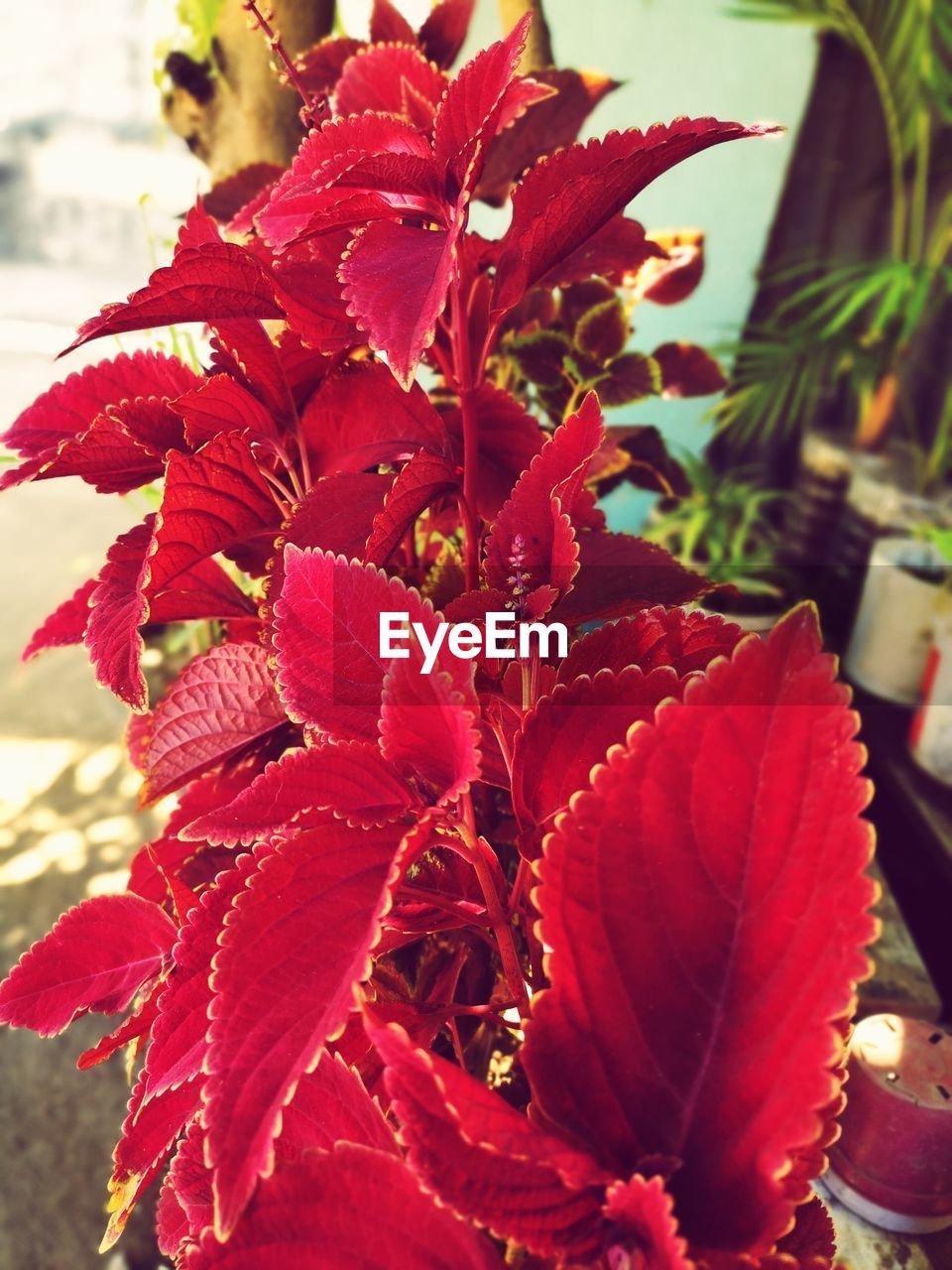 red, plant, flowering plant, flower, beauty in nature, close-up, growth, petal, fragility, vulnerability, flower head, freshness, focus on foreground, inflorescence, nature, day, no people, plant part, leaf, botany, pollen