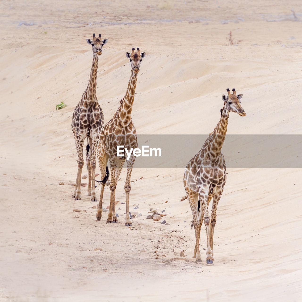 High angle view of giraffes walking on land