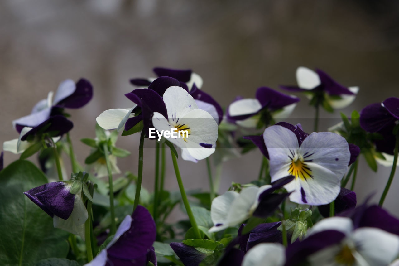 flower, petal, fragility, beauty in nature, white color, freshness, flower head, nature, growth, no people, purple, plant, day, close-up, blooming, outdoors