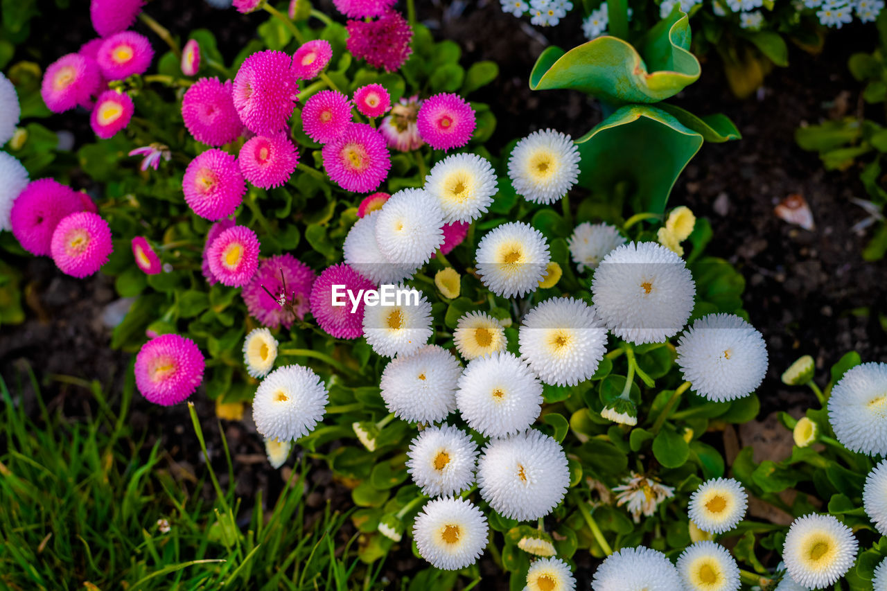 plant, flower, flowering plant, vulnerability, freshness, fragility, growth, beauty in nature, flower head, inflorescence, nature, petal, close-up, day, no people, field, land, white color, high angle view, outdoors, softness