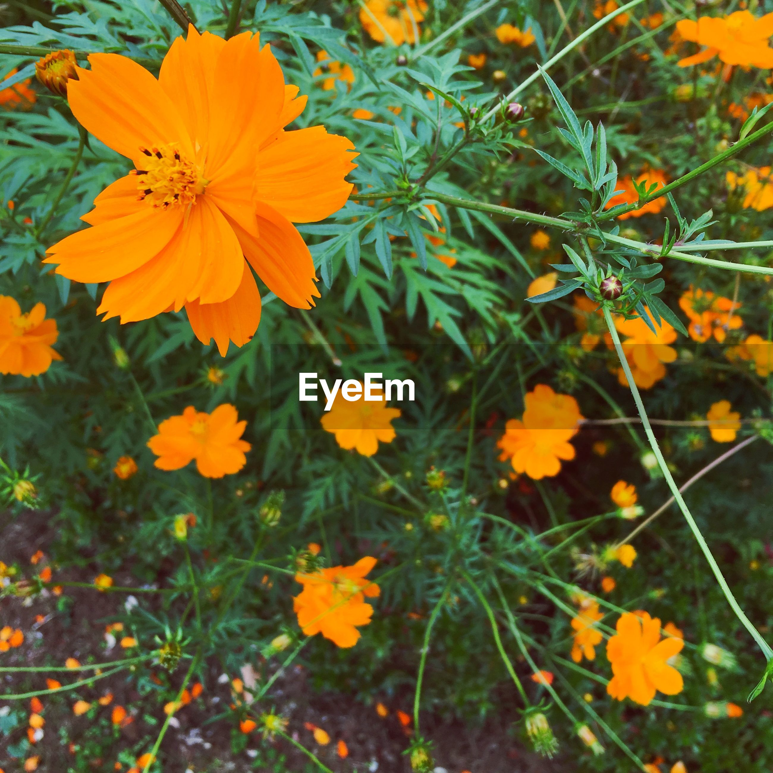 Pot marigold blooming on field