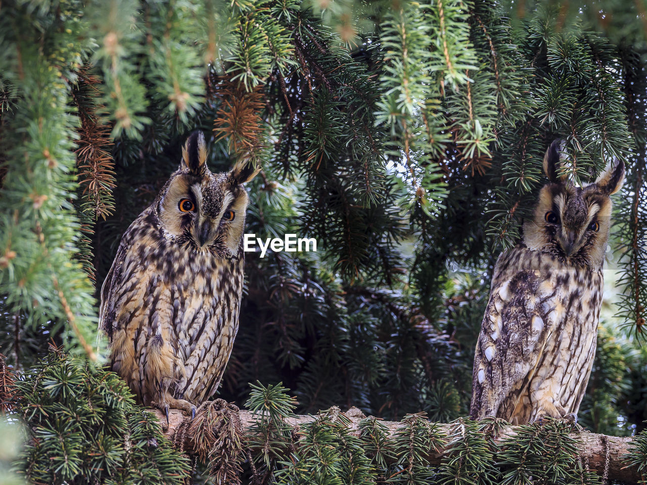 tree, animal themes, plant, animal, vertebrate, animal wildlife, one animal, animals in the wild, bird of prey, no people, nature, owl, bird, day, growth, land, perching, portrait, focus on foreground, looking at camera, outdoors, pine tree, coniferous tree