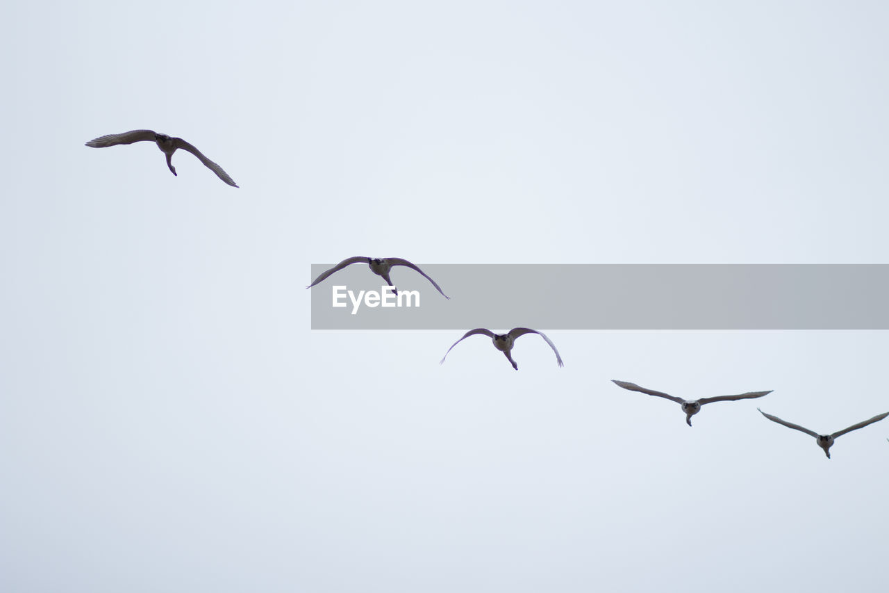 animal wildlife, animal themes, animals in the wild, bird, flying, vertebrate, animal, group of animals, mid-air, spread wings, sky, low angle view, no people, clear sky, nature, copy space, beauty in nature, day, motion, outdoors, flock of birds