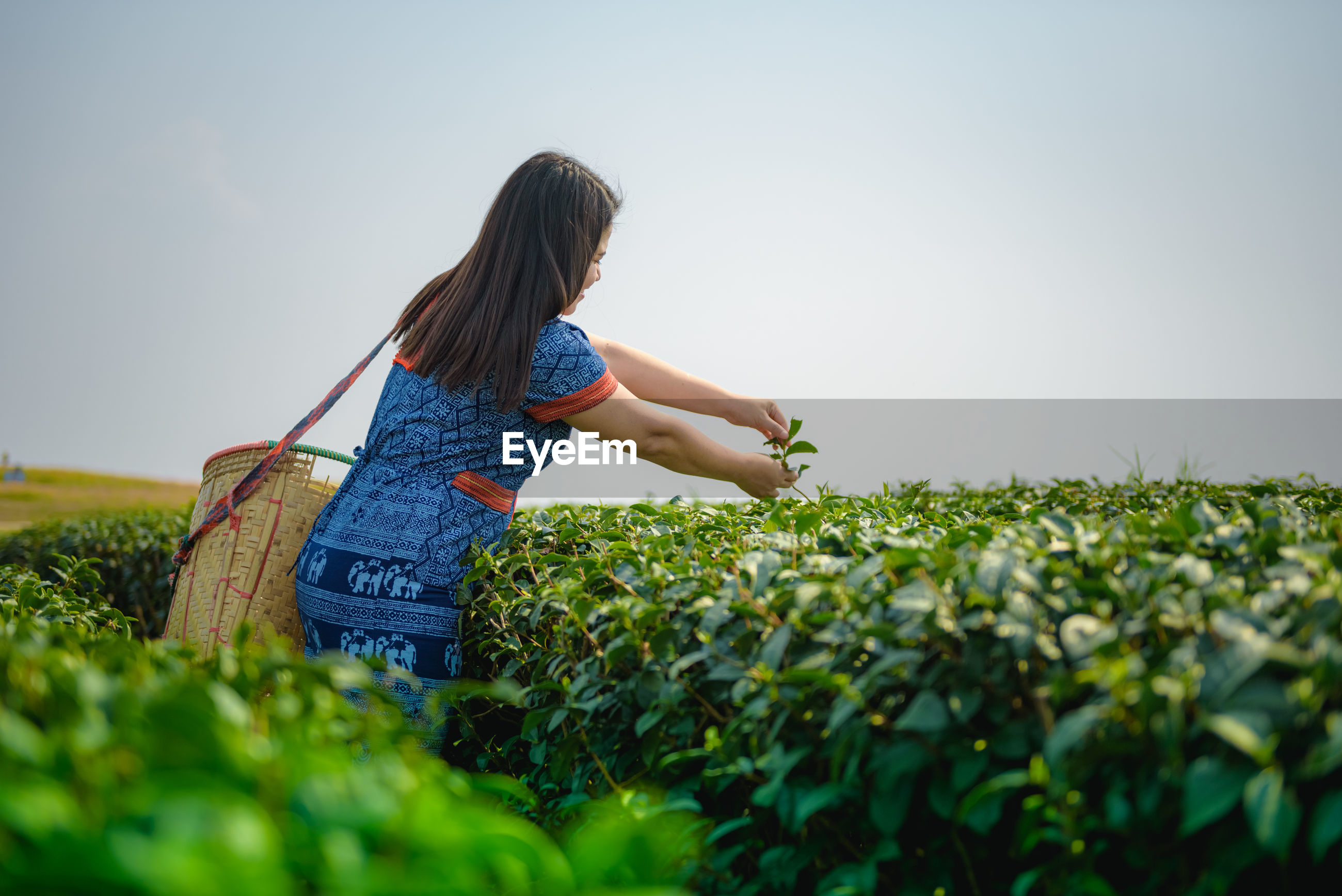 Woman harvesting while standing in farm against clear sky