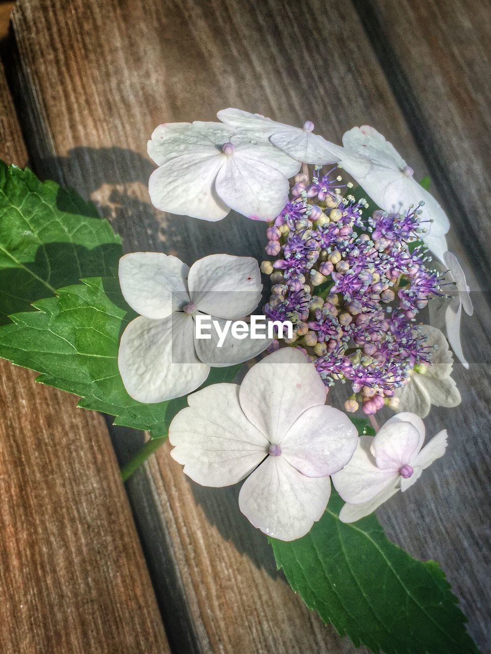 flower, freshness, fragility, leaf, petal, purple, beauty in nature, no people, high angle view, nature, plant, flower head, day, close-up, outdoors, blooming, periwinkle