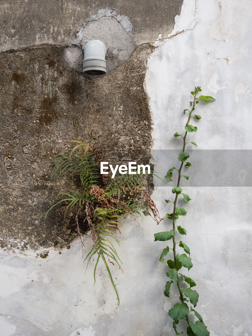 plant, leaf, plant part, nature, wall - building feature, growth, no people, day, built structure, green color, outdoors, architecture, building exterior, beauty in nature, wall, winter, white color, cold temperature, concrete