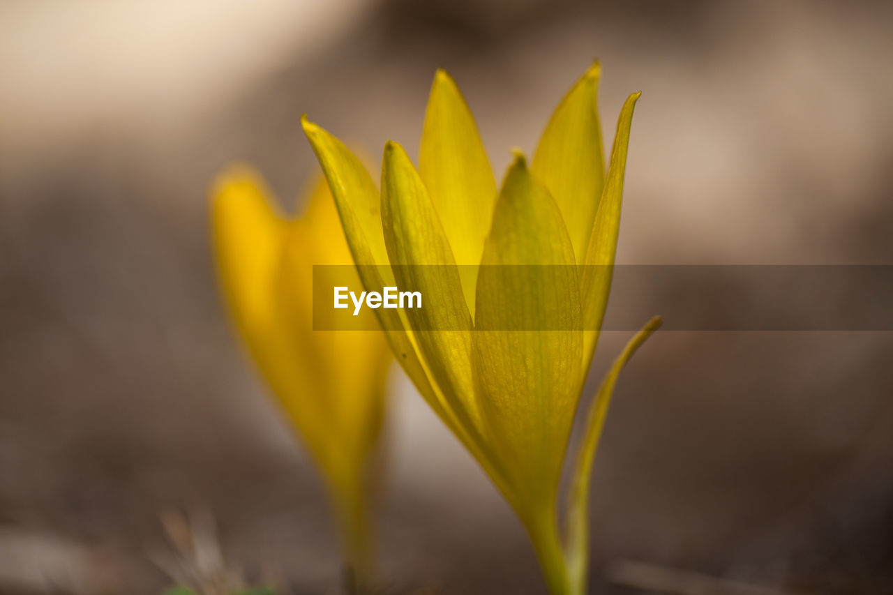 yellow, fragility, flowering plant, beauty in nature, growth, vulnerability, flower, close-up, freshness, plant, petal, inflorescence, flower head, nature, no people, focus on foreground, day, selective focus, outdoors, softness, crocus