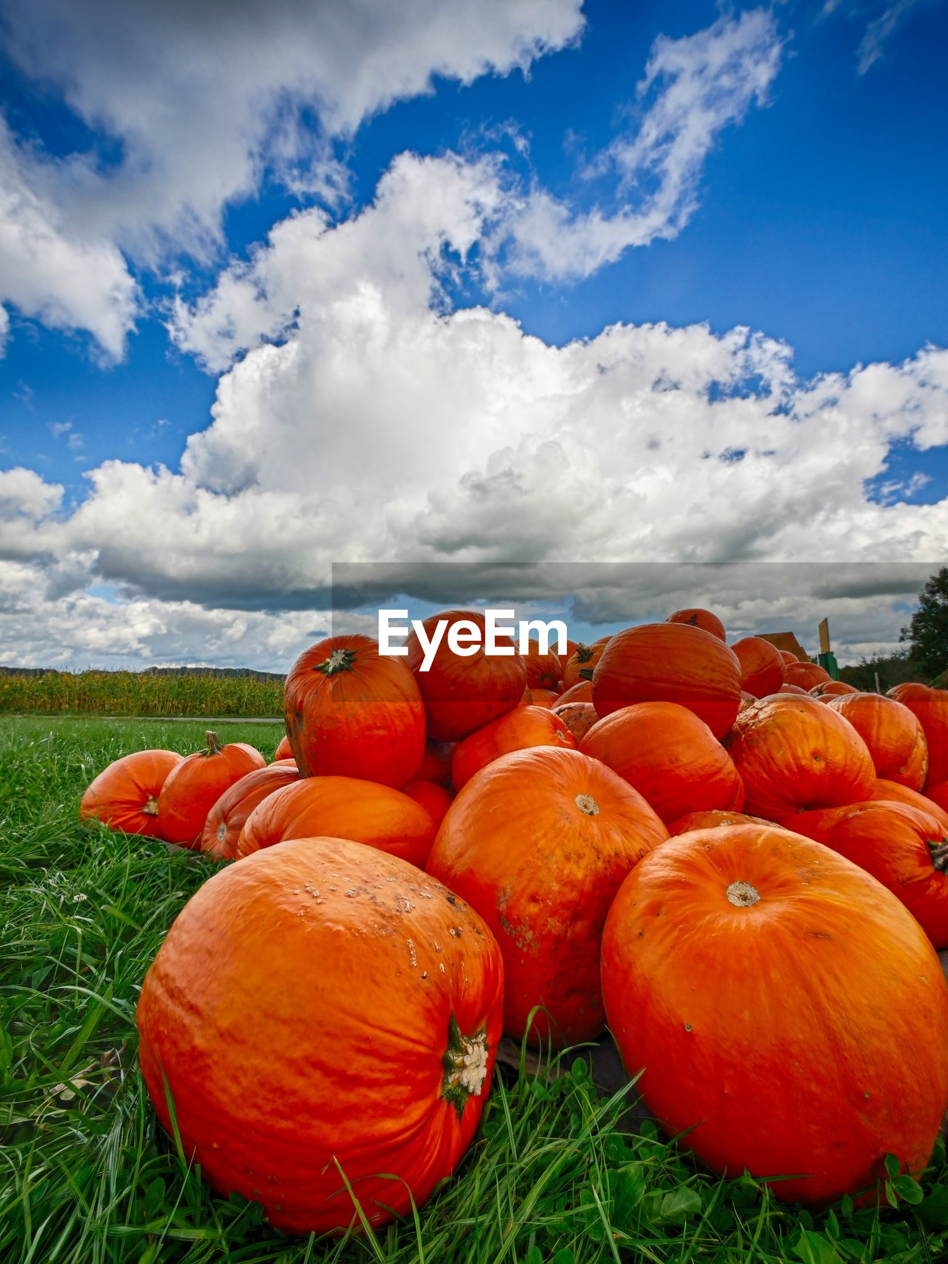 Close-up of orange pumpkins on grassy field against cloudy sky