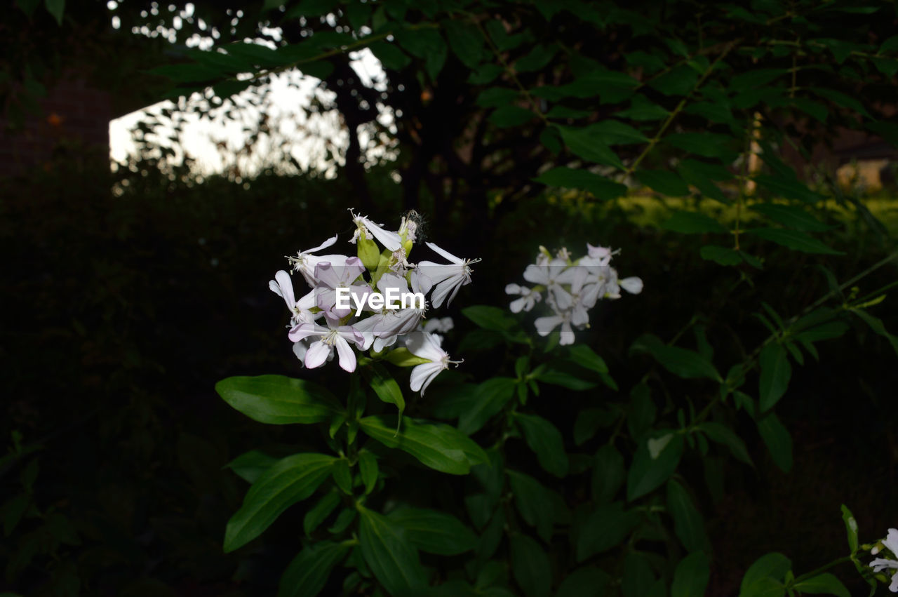 flower, petal, white color, fragility, growth, beauty in nature, nature, freshness, no people, green color, blooming, plant, leaf, flower head, outdoors, close-up, day, periwinkle