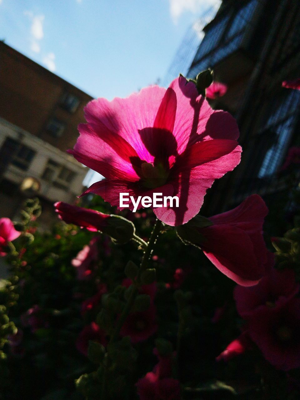 flower, flowering plant, plant, petal, beauty in nature, pink color, freshness, vulnerability, fragility, growth, close-up, inflorescence, flower head, nature, focus on foreground, no people, red, day, architecture, outdoors