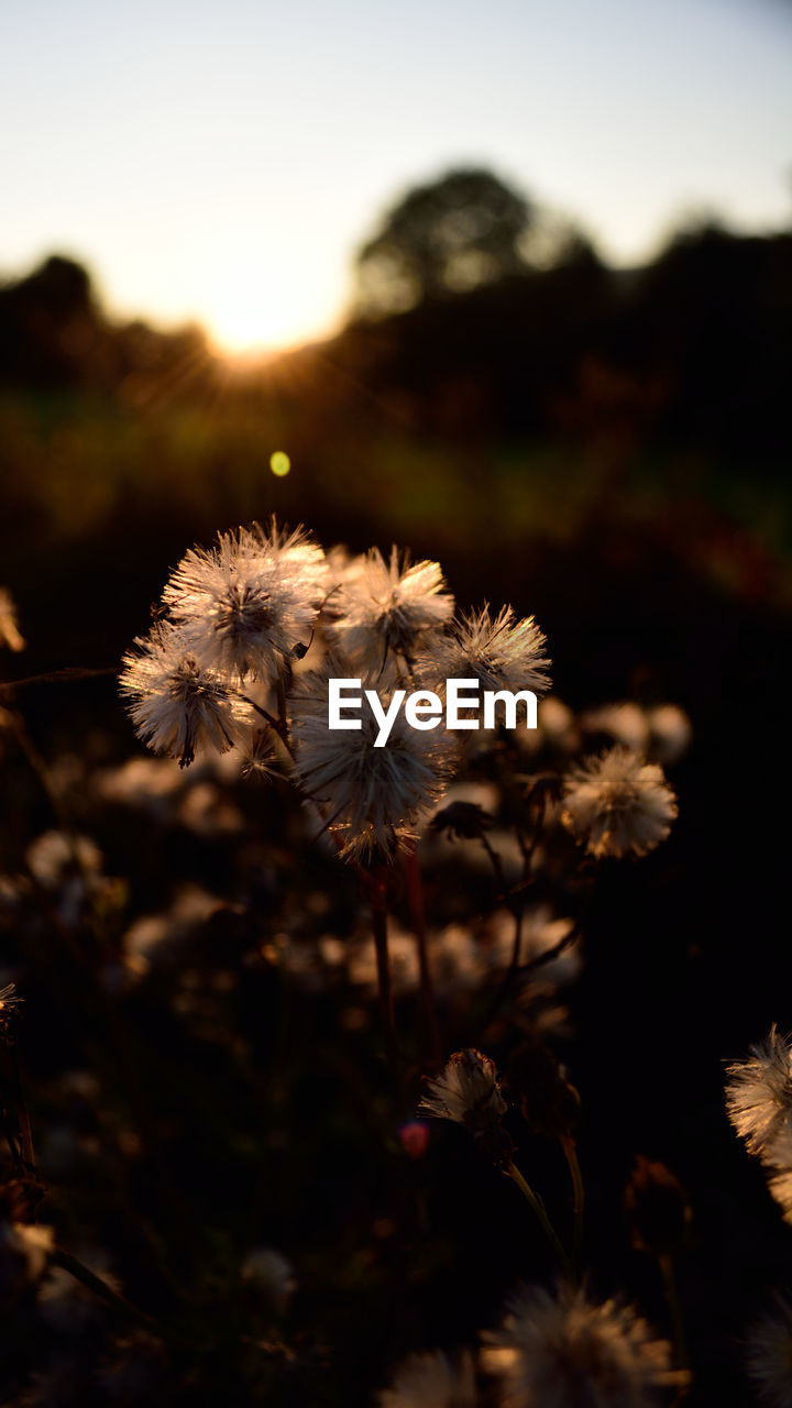 flower, nature, fragility, focus on foreground, flower head, growth, plant, outdoors, beauty in nature, no people, close-up, freshness, sunset, day, sky