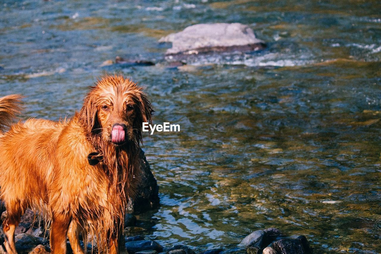 Portrait Of Wet Golden Retriever Sticking Out Tongue While Standing In Lake