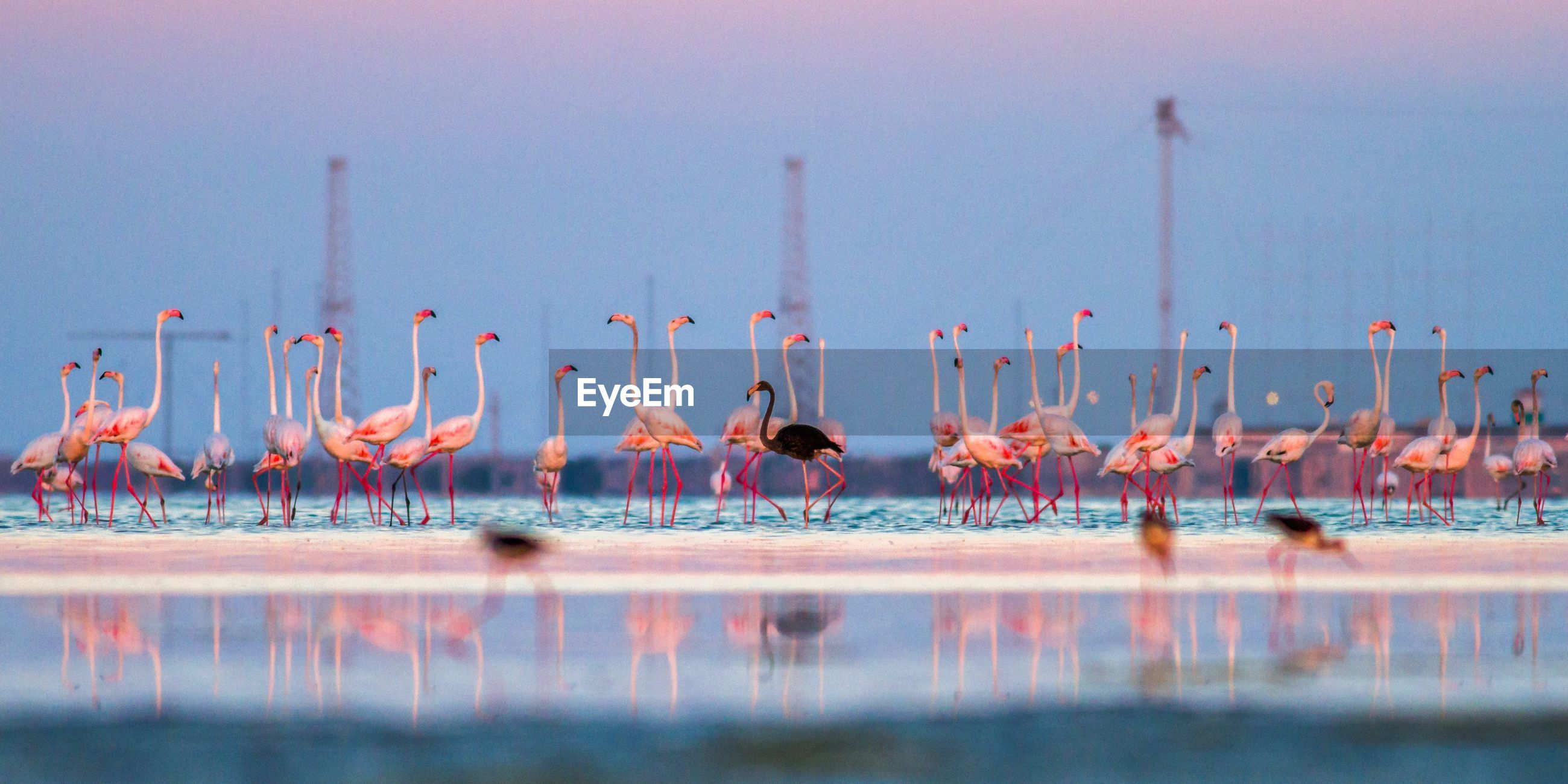 Flamingos standing in lake against sky during sunset