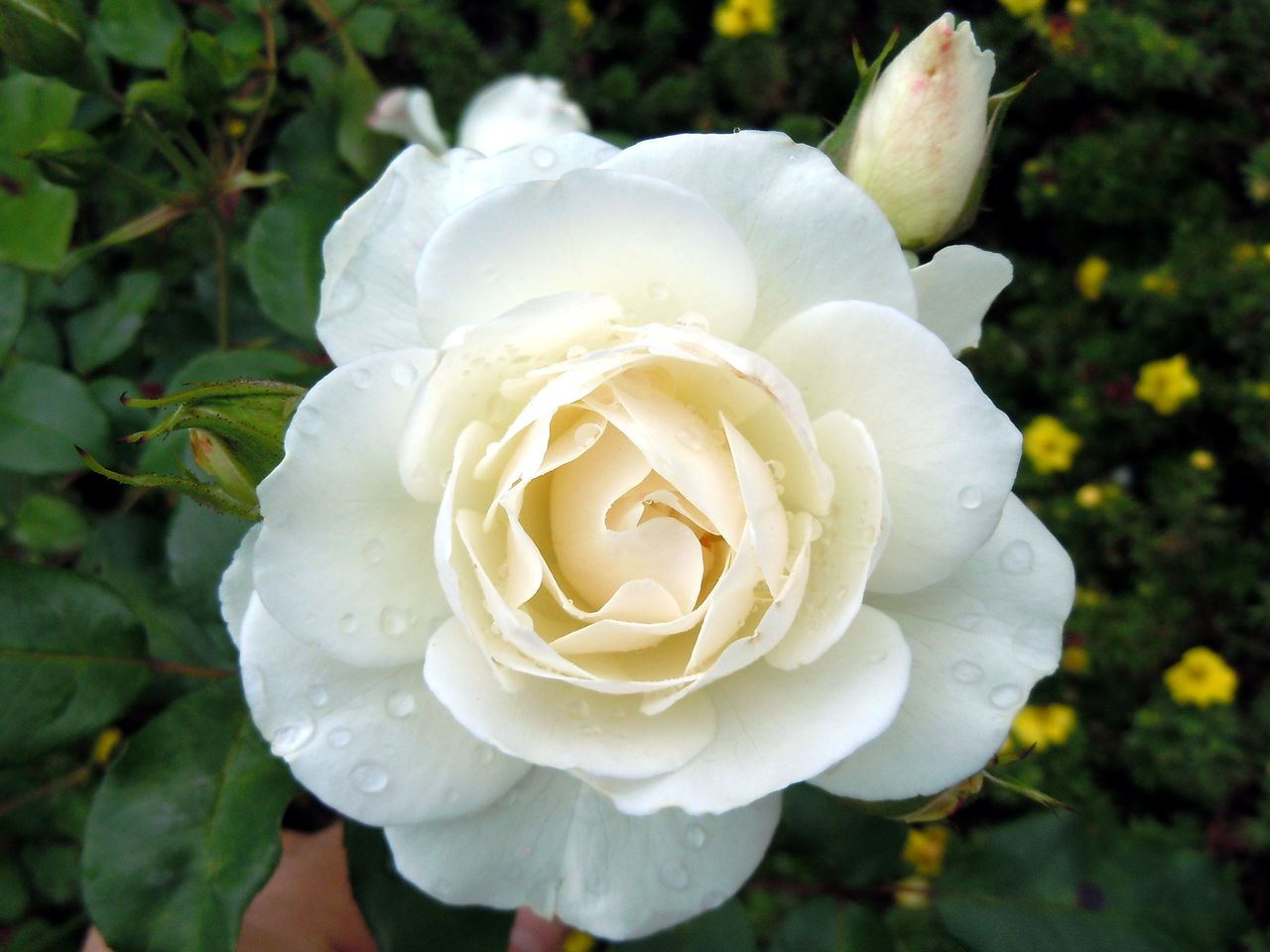 flower, petal, beauty in nature, nature, flower head, rose - flower, white color, plant, growth, fragility, freshness, close-up, day, blooming, focus on foreground, outdoors, no people, wild rose, leaf, water