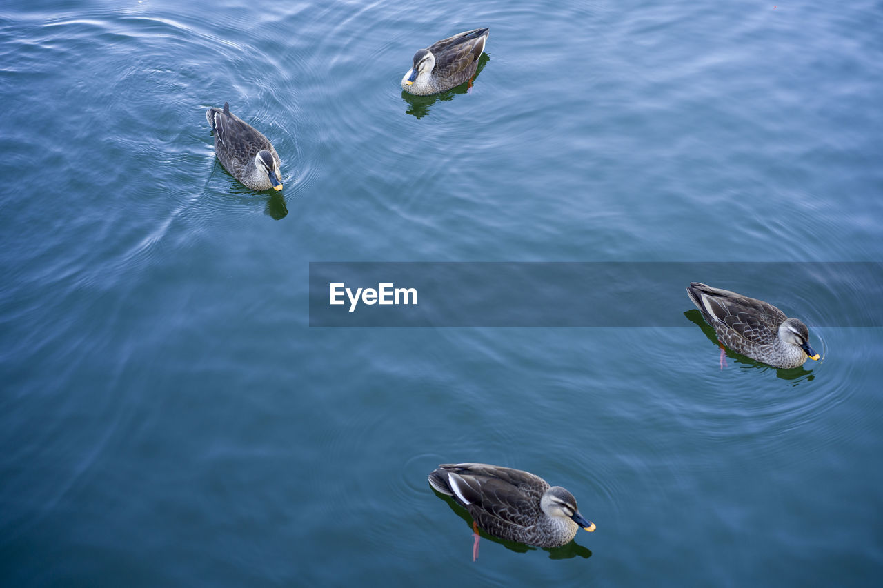 animals in the wild, animal wildlife, animal themes, animal, bird, vertebrate, water, group of animals, no people, nature, high angle view, day, lake, swimming, flying, outdoors, two animals, duck, spread wings, marine