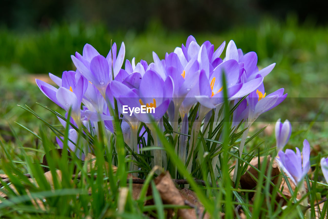 flower, growth, beauty in nature, nature, petal, fragility, freshness, plant, purple, field, grass, blooming, outdoors, no people, flower head, day, crocus, close-up