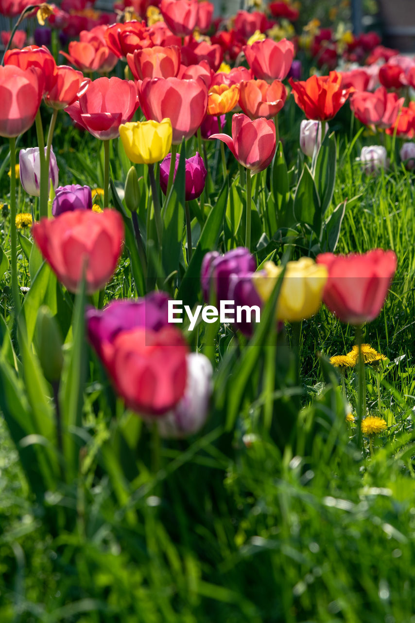 flower, flowering plant, plant, beauty in nature, vulnerability, fragility, freshness, petal, growth, flower head, close-up, inflorescence, field, selective focus, land, nature, no people, red, tulip, green color, springtime, outdoors, purple, flowerbed, spring