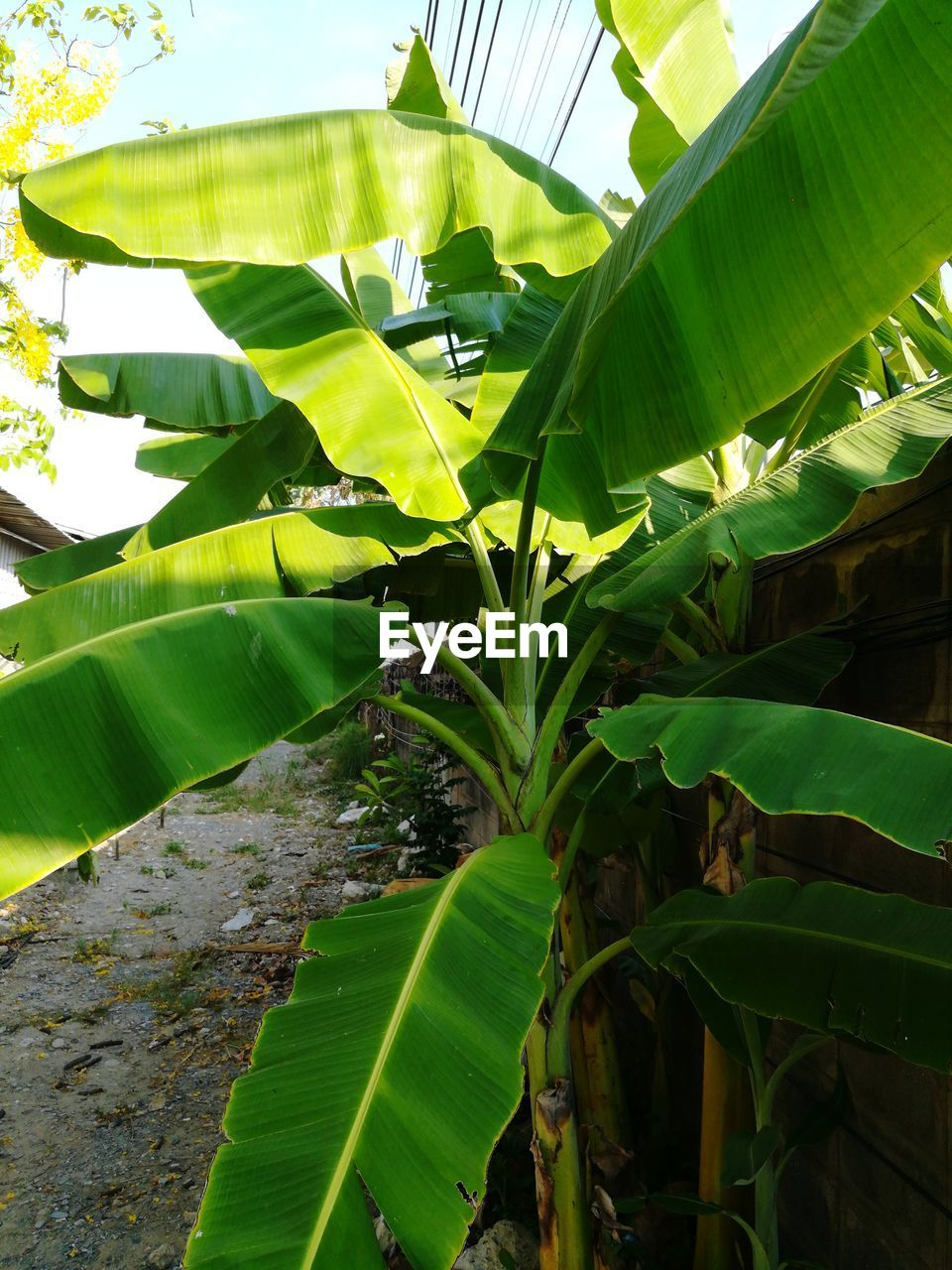 leaf, banana tree, banana leaf, green color, growth, nature, sunlight, no people, day, outdoors, beauty in nature, close-up, freshness, sky