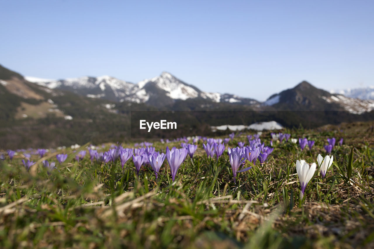 flower, beauty in nature, flowering plant, plant, sky, growth, mountain, field, freshness, land, vulnerability, nature, tranquility, fragility, purple, day, no people, landscape, selective focus, scenics - nature, flower head, outdoors, iris, crocus